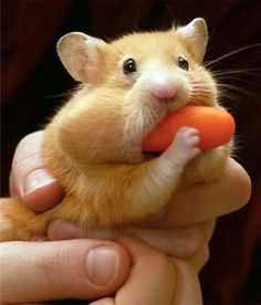 This hungry little hamster is so adorable! This hamster is stuffing his face with a carrot.
