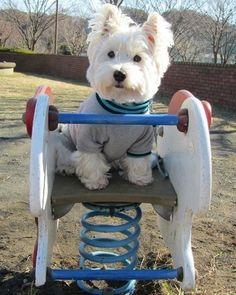 2013年を振り返って | West Highland White Terrier | Scoop.it