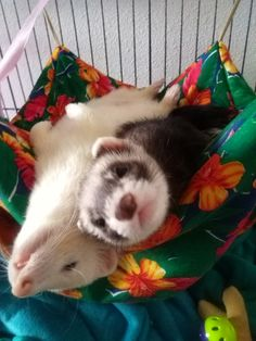 My ferrets (named: Nagini & Camelot <3  )