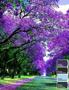 I want to live where these are in bloom. Jacarandas....San Miguel Allende, GTO Mexico