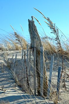 """Beach Farmgirl >> Cottage Fever  (Cape Cod Bay)  -  """"We've made our way into the dunes! The snow fence helps catch the sand. The dunes play an important role in protecting our small homesteads. If it wasn't for them the water would wash right in and take everything in it's path right out to sea."""""""