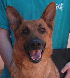 Margaret is a sunny, gorgeous girl debuting for adoption today at Nevada SPCA (www.nevadaspca.org).  She is a German Shepherd, 5 years of age and spayed, housetrained and crate-trained, and compatible with other friendly dogs.  Margaret was at another shelter that asked for our help.  She had reportedly been surrendered there due to jumping up on her previous owner.  We want to find Margaret an experienced owner fully committed to basic dog training so she can reach her full loving…