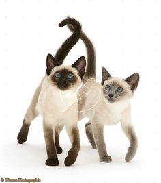Blue Seal Point Siamese Kittens