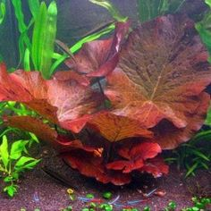 Red Tiger Lotus Care Guide – Planting, Growing, and Propagation - Shrimp and Snail Breeder Freshwater Aquarium Plants, Live Aquarium Plants, Planted Aquarium, Betta Aquarium, Tropical Aquarium, Freshwater Fish, Tropical Fish, All Plants, Green Plants