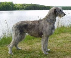 Always wanted an Irish wolf hound. Maybe after Sonny finishes having rabbits Cute Puppies For Sale, Cute Dogs, Dogs And Puppies, Doggies, Irish Wolfhound Breeders, Irish Wolfhounds, Big Dogs, Large Dogs, The Iron Druid Chronicles