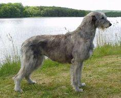 Irish wolf hound - I MUST have one!  beautiful.