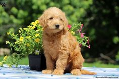 Here comes Paxton, a perky Mini Labradoodle puppy who is always on the go. This lovable pup is vet checked and up to date on shots and dewormer. Paxton al Mini Labradoodle Puppy, Labradoodle Puppies For Sale, Miniature Australian Labradoodle, Pennsylvania, Dogs, Animals, Animales, Animaux, Pet Dogs