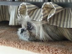 Shih Tzu hiding under the couch