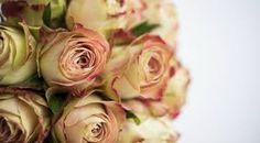 Norsk Navn - Rose - Botanisk navn Rosa - Upper secret.  Ganske stor rose - god holdbarhet.  Passer i romantiske buketter - Nyfødt pike - brudebukett.