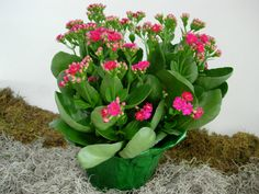 Propagate a Kalanchoe by stem cuttings, plant division, and offsets. If stem cuttings are used be sure to let the cut end of the stem dry out for 24 hours before planting them. This prevents the cuttings from developing root rot.