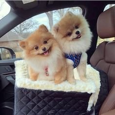 Marvelous Pomeranian Does Your Dog Measure Up and Does It Matter Characteristics. All About Pomeranian Does Your Dog Measure Up and Does It Matter Characteristics. Spitz Pomeranian, Cute Pomeranian, Pomeranians, Micro Teacup Pomeranian, Pomeranian Haircut, Cute Dogs And Puppies, I Love Dogs, Cute Baby Animals, Funny Animals