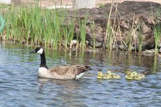 Come visit the Village of Los Ranchos.  We have plenty of amazing sightings like these ducks with babies spotted here in the Village!  www.losranchosnm.gov