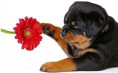 En Sadık Köpekler  Bir çoğumuz evimizde,bahçemizde köpek beslemeyi çok seviyoruz.Kimimiz eğitimimizi kendimiz verirken,kimimizde özel eğitilmiş hayvanları tercih ediyoruz.Bize sahip çıkması,sevmesi,sadık kalması,saldırmaması için en iyi şartlarda yetiştirilmiş köpeklerle yaşamayı istiyoruz.İşte şimdi görecekleriniz... Eklendi, Daha fazlası için Soosyo'ya Gel!