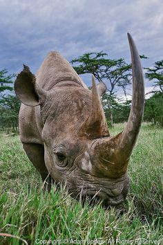 Black Rhinoceros, Diceros bicornis, Kenya, Africa