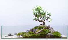 fuck-yeah-aquascaping: petiteplanet: portulacaria afra terrarium, Aquascaping-inspired moss terrarium in a shallow glass tank, featuring a Portulacaria afra bonsai – the product of this afternoon :) Planted Aquarium, Aquarium Terrarium, Nano Aquarium, Moss Terrarium, Aquarium Design, Terrarium Plants, Fish Tank Terrarium, Terrarium Wedding, Aquarium Ideas