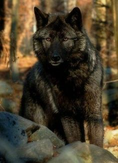 I've not seen a wolf with this dark coloring - Nice. Post your best Foxes,coyotes,and Wolf pictures - Canon Digital Photography Forums Beautiful Creatures, Animals Beautiful, Cute Animals, Fierce Animals, Wild Animals, Wolf Spirit, My Spirit Animal, Wolf Pictures, Animal Pictures