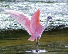 Google Image Result for http://www.floridiannature.com/roseate%2520spoonbill.jpg