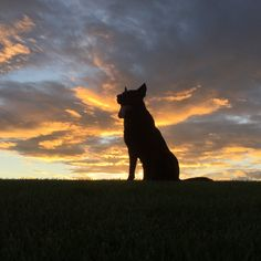 Black Dog and his adventures or misadventures. Hard surface tracking and sport dog world equipment. Black Dogs Breeds, Dog Breeds, German Shepherd Dogs, German Shepherds, Photoshoot Themes, Schaefer, Dogs Of The World, Jack Russell Terrier, Going Home