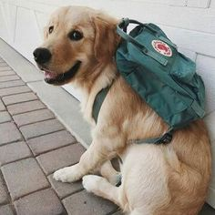 Astonishing Everything You Ever Wanted to Know about Golden Retrievers Ideas. Glorious Everything You Ever Wanted to Know about Golden Retrievers Ideas. Cute Dogs And Puppies, I Love Dogs, Doggies, Adorable Puppies, Cute Little Animals, Cute Funny Animals, Chien Golden Retriever, Baby Golden Retrievers, Golden Retriever Puppies
