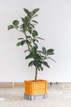 ficus in a nice crate-pot
