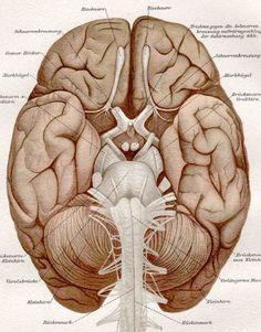 1887 brain anatomy original antique medical por antiqueprintstore