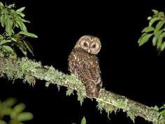 Al caer la noche, esta ave emerge lentamente de su sueño diurno. Descansa en una rama de árbol en la oscuridad y utiliza su agudo senti...