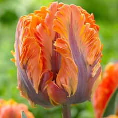 10 tulip irene parrot - 35cm late Apr-May An unusual colour combination of soft salmon and orange with buff featherings, remarkable Tulip. The parent is in fact a colour mutant of the red 'Couleur Cardinal', whose descendants also include the classical parrot 'Rococo' and the double 'Orange Princess'.