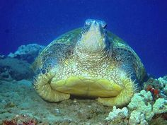 Sea turtle #reptiles