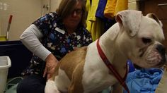 Simon gets a physical therapy treatment Session Thanks Susan for helping out The Monmouth County SPCA. Physical Therapy, Physics, Animals, Life, Animales, Animaux, Physics Humor, Animais, Animal