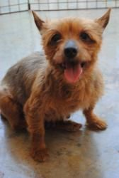 Tilly is an adoptable Yorkshire Terrier Yorkie Dog in Albemarle, NC. Please contact Sydney Stiller ( sstiller@vnet.net ) for more information about this pet. The standardadoption fee is $200, but it ...