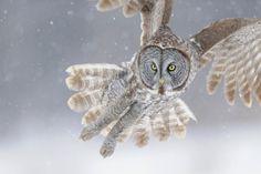 Strix nebulosa, the Great Grey Owl  (my favourite owl.)