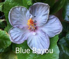Blue Bayou Hibiscus