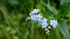 Pink Forget me not Flowers wallpaper_other_health questions ...