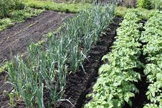 If you are growing a garden to feed your family - then succession planting is a must! It ensures a steady harvest throughout the entire growing season.