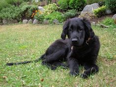 flat coated retriever~ Love my flat coat Rio! They are amazing dogs! =]