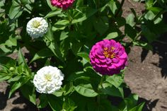#Zinnias on the #JPParkerFlowers farm! #FlowerPower www.jpparkerco.com