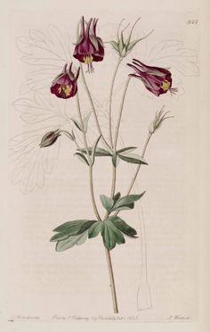 Aquilegia viridiflora illustration - circa 1825