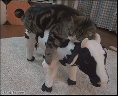 """CAT GIF • Lazy Maru is chillaxing on his cow. """"I wanna be a cowboy. NO, too tired: Zzzz... Zzzz..."""""""