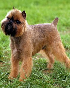 Brussels Griffon. I like, but I think I'd leave more hair on top of his head. Make it more like a lion mane.