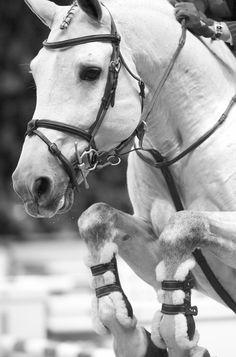 Location: Kingsland Oslo Horse show, Norway  Love the horse's expression and seeing the detail in his face and bridle... just beautiful.    Subject: Luciana Diniz's beautiful stallion Winningmood