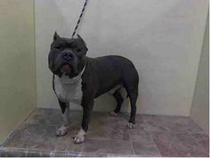 Manhattan Center   ZABINI - A0996102 *** DOH HOLD 4/8/14 ***  MALE, BLUE / WHITE, STAFFORDSHIRE MIX, 4 yrs STRAY - ONHOLDHERE, HOLD FOR DOHMULTIPL Reason BITEANIMAL  Intake condition INJ SEVERE Intake Date 04/08/2014, From NY 11208, DueOut Date , https://www.facebook.com/photo.php?fbid=784661761546705&set=a.617938651552351.1073741868.152876678058553&type=3&theater