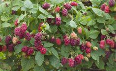 Tayberry ist eine junge Obstsorte die aus der Kreuzung von Himbeer- und Brombeersorten entstanden ist. Hier erfahrt ihr wissenwertes über die süße Beere.