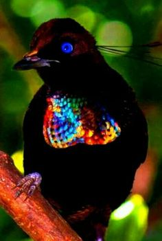 Six-wired bird of paradise (Parotia lawesii), Papua New Guinea