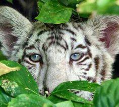White Tiger Cub!