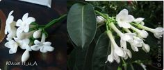 Stephanotis gumpaste flower tutorial