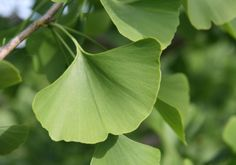 GINKGO is really effective for improving memory and learning in patients suffering from dementia!!