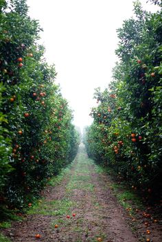 Orchard... Looks like heaven, and I am not even a fan of straight lines.
