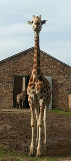 Tall Proud Giraffe At Chester Zoo Pictures Animal Cheshire England
