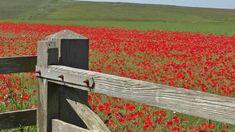Relaxing Bird Song & Nature Sounds - Skylark Birds Singing & Poppy Field...