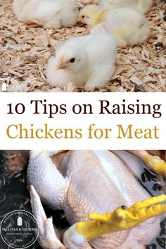 Raising hens for eggs can be a bit different than raising chickens for meat. Here are 10 tips for beginners covering what breeds are best, how to select your baby chicks, which food to use, and more. #raisechickens #smallfarm #babychicks